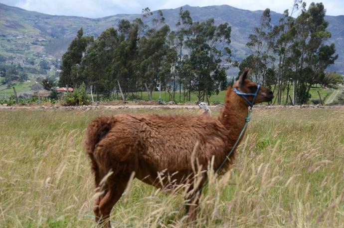 It wouldn't be an archeological site without llamas.