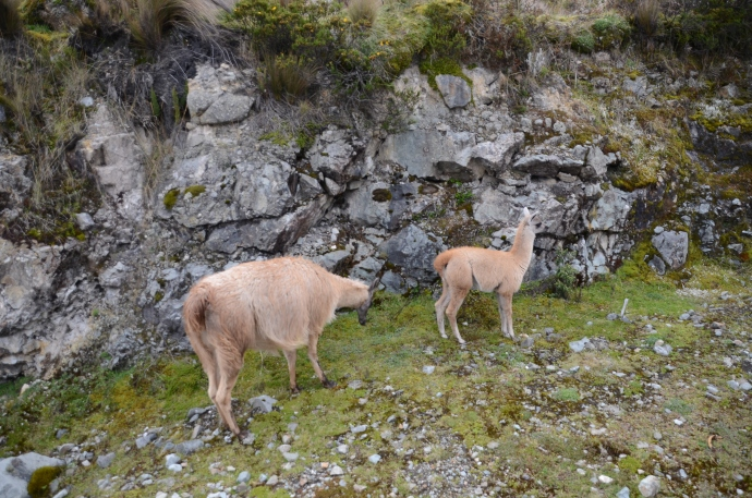 Llamas at Toreadora Lake, Cajas National Park, Ecuador