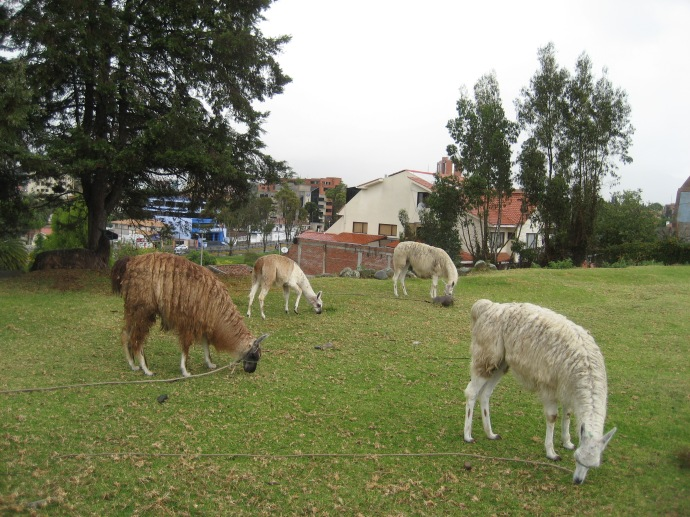 It wouldn't be an archeological site in Ecuador without llamas