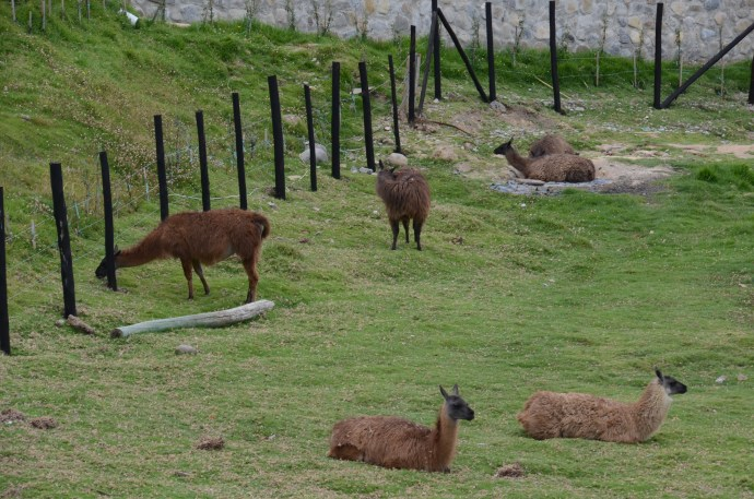 Ingapirca llamas