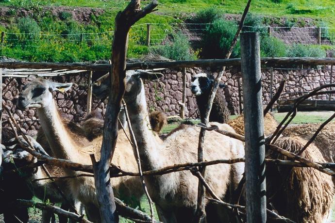 Guanacos penned in Peru in 2006
