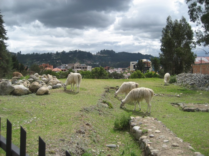 Llamas in the heart of Cuenca