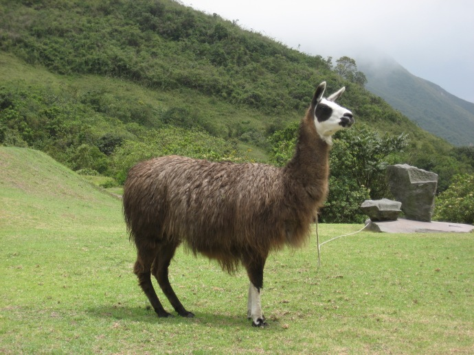 Llama at El Crater Restaurant, Quito