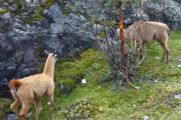 Llamas at Cajas National Park