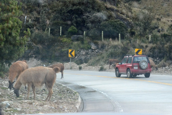 Llamas in the road, on both sides