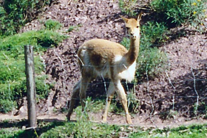 A vicuna in Peru