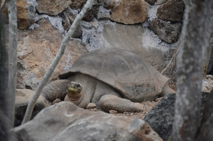 Pepe, the Galapagos land tortoise at the San Cristobal Interpretive Center