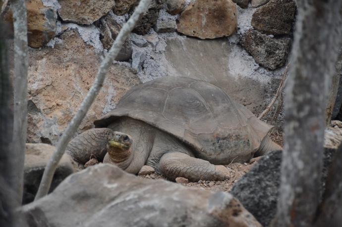 Pepe, the Galapagos land tortoise at the San Cristobal Interpretive Center