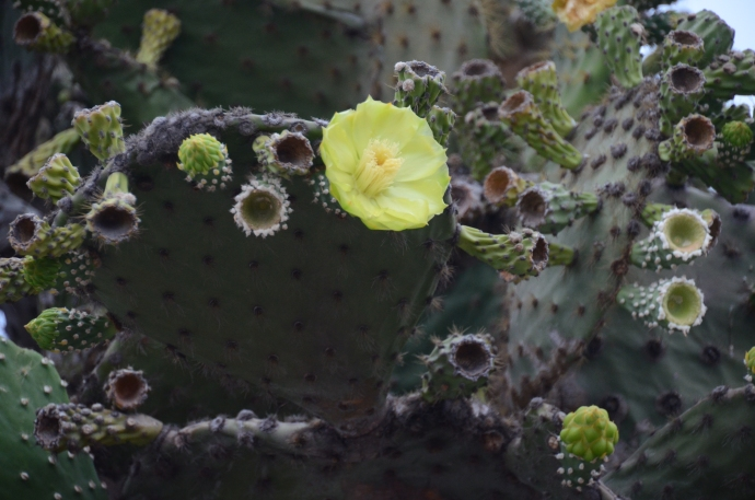 A closeup of a prickly pear cactus flower