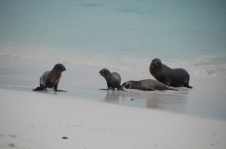 Sea lion cubs frolic in the surf
