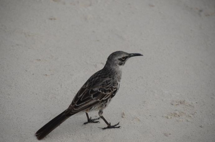 Hood mockingbird on Espanola Island