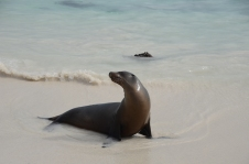 Sea lion in the surf