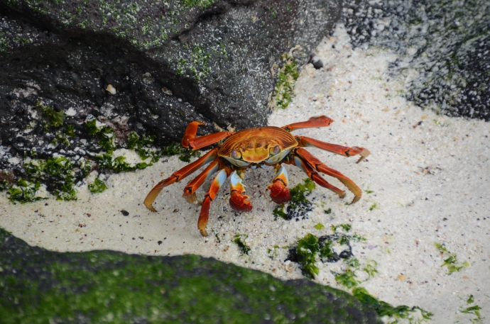 Sally Lightfoot Crab aka red rock crabs