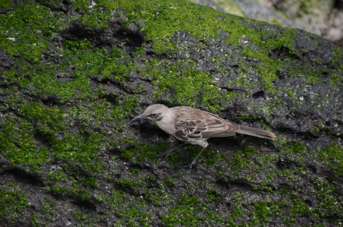 Hood mockingbird on Espanola Island (sometimes we can't decide which photo we like more, so we put them both in the post)