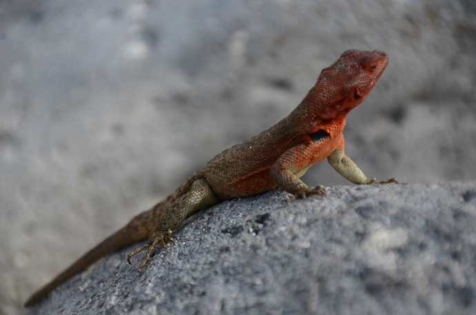 A female lava lizard, on the rocks with no salt