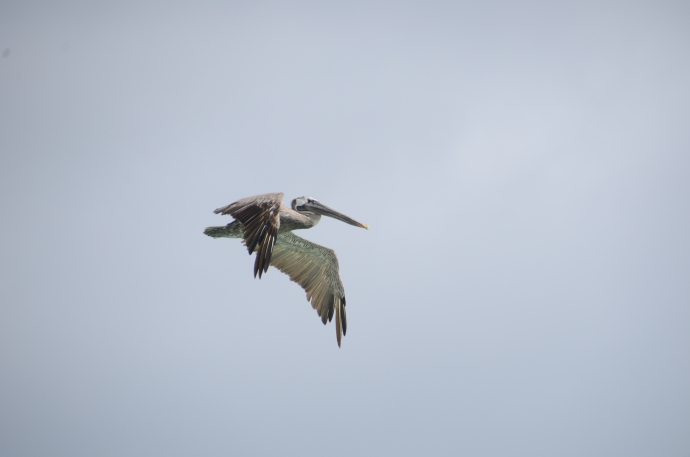A brown pelican in flight above the Galapagos.