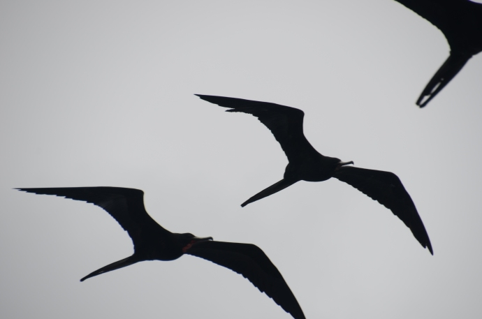 Frigate birds above our ship.