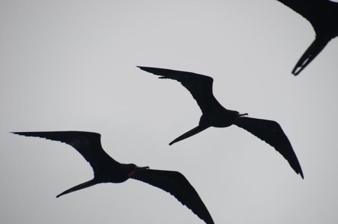 Frigate birds above our ship.