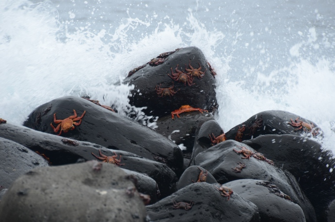 Sally Lightfoot crabs cling to the rocks as a wave crashes ashore