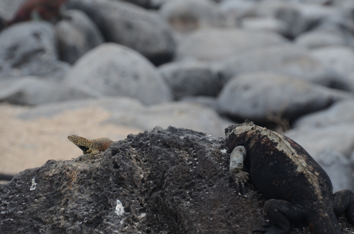 A pair to draw to.  The lava lizard on the left avoids the marine iguana on the right