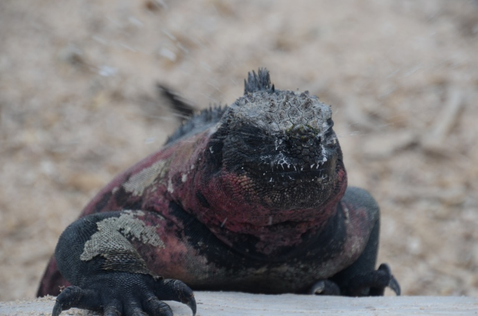 Ok, we find this one to be very cool.  When we look at it on the big monitor, we can see that this marine iguana has just expelled the sea water from his nose.  The water is radiating away from the lizard's head.