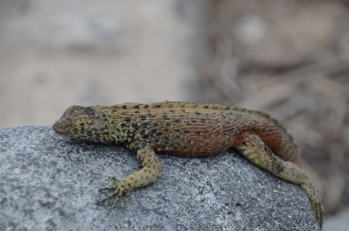 A lava lizard, rocking on