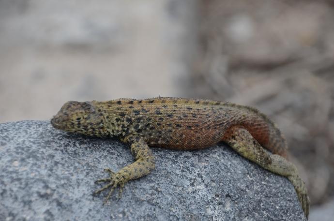 A lava lizard, rocking on