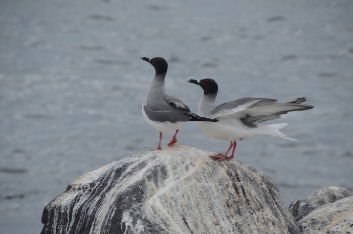 Swallow-tailed gulls on Espanola Island