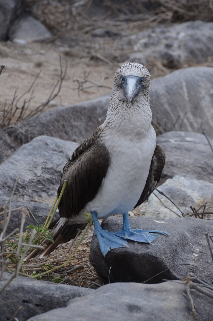A well posed blue footed booby, one of the main things we wanted to see on our trip