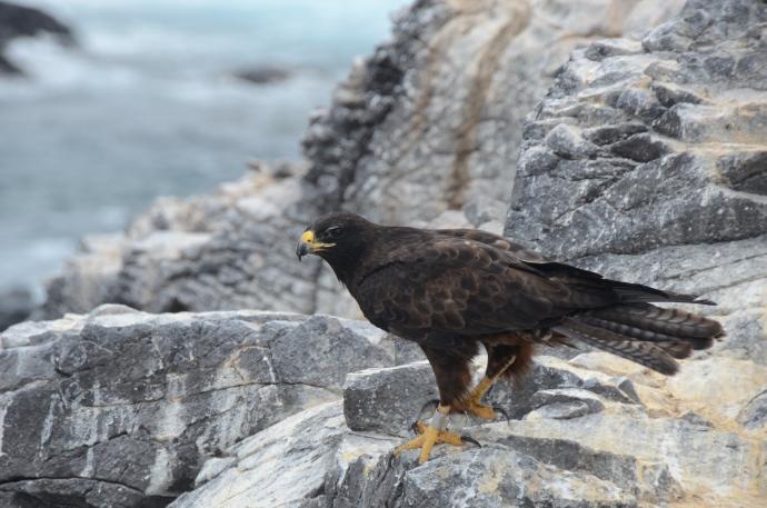A mature Galapagos hawk