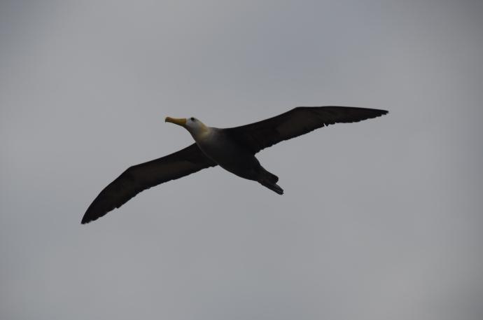 Albatross! Albatross!