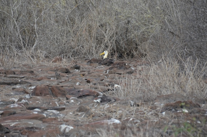 A waved albatross tends to her egg. There isn't really a nest; the albatross turns the egg by rolling it along the ground, ending about 250 feet from where it started.