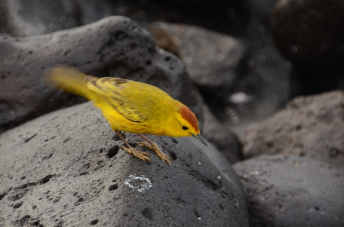 We believe this is a wild canary, moving its tail quickly