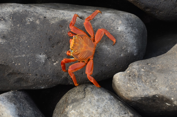 Another Sally Lightfoot Crab