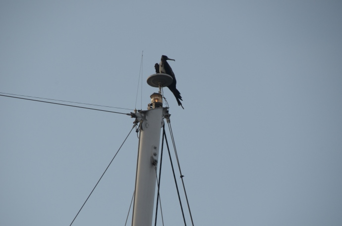 A frigate bird perches on the mast of a ship anchored near ours.