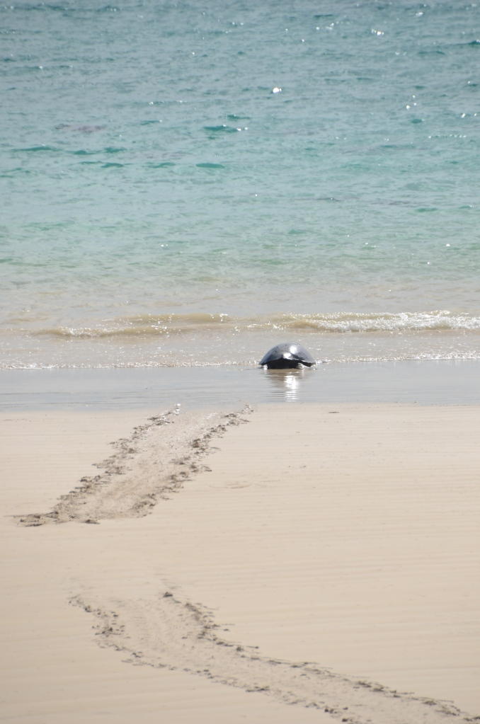 A female Galapagos Green Sea Turtle wearily heads back to sea after laying her eggs