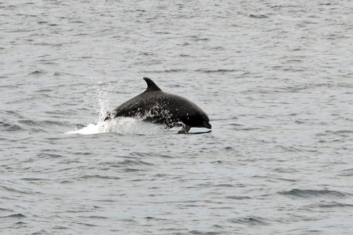 A dolphin jumps near the port side of our boat