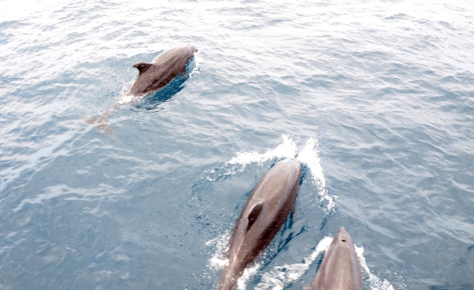 These dolphin were running next to the bow of our ship