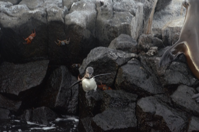 A Galapagos penguin in mid-air, making a less than graceful plunge into the ocean