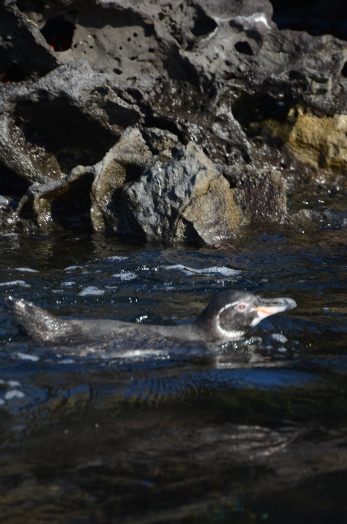 A swimming Galapagos penguin.  Because we are talking about things in the ocean, it make sense to show one in the water