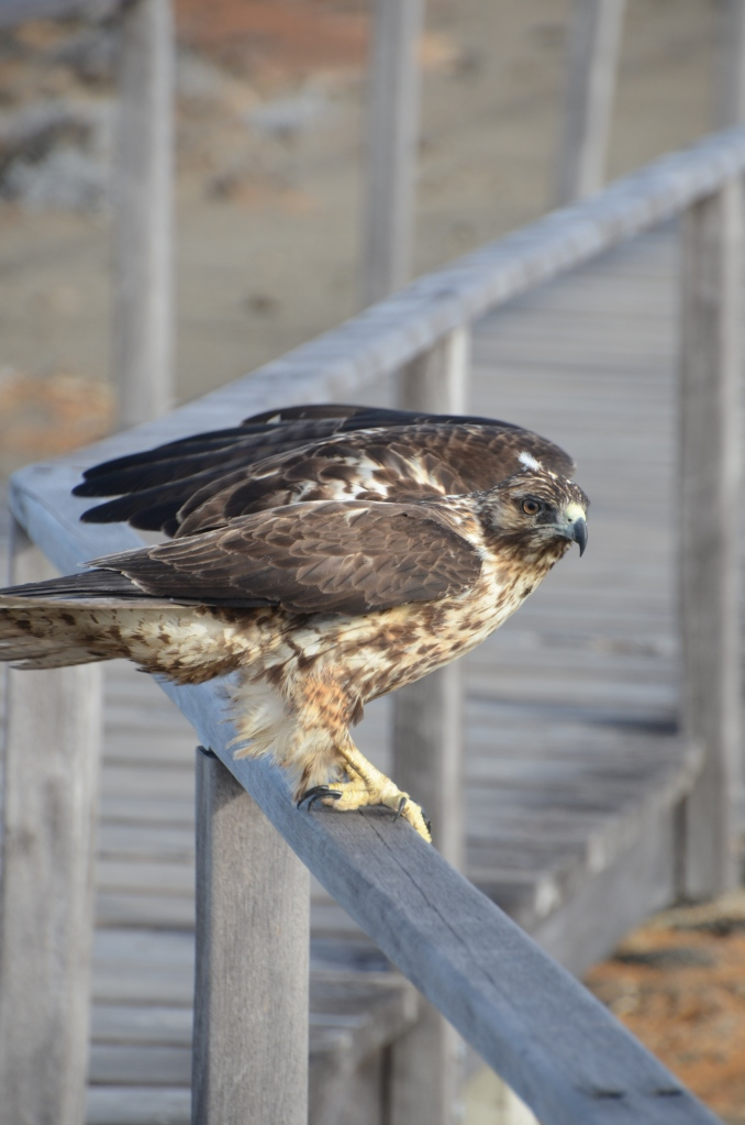 An immature Galapagos Hawk