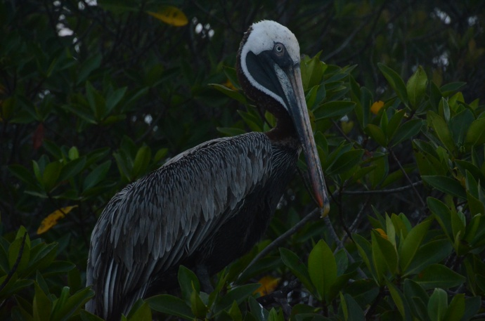Another brown pelican