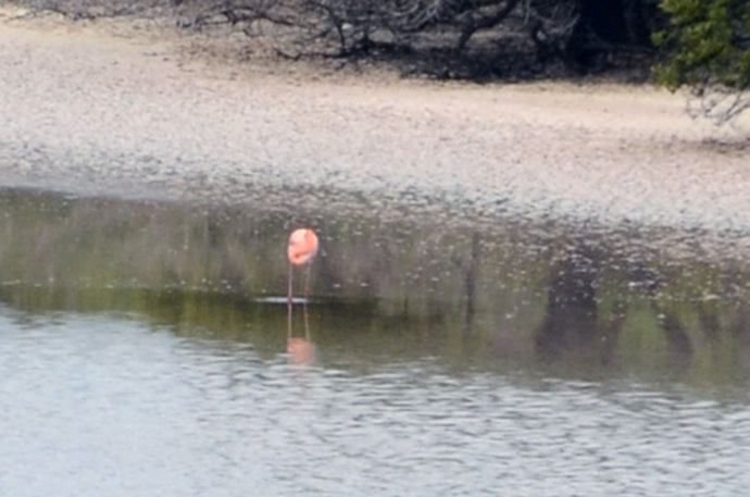 A pink flamingo.  This photo was cropped from a much larger one.  For some, this bird never lifted its head.  Perhaps it was ashamed that it was the only one there and its friends were partying on another island.
